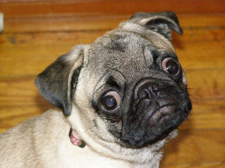 Googly Eyes You Talking To Me My Pugs Pinterest