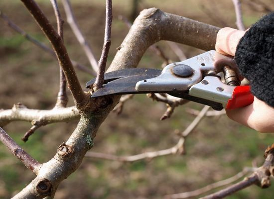 Want better production, prettier blossoms and a longer life for your fruit trees? Learn how to prune them with our beginner's guide to pruning fruit trees!.
