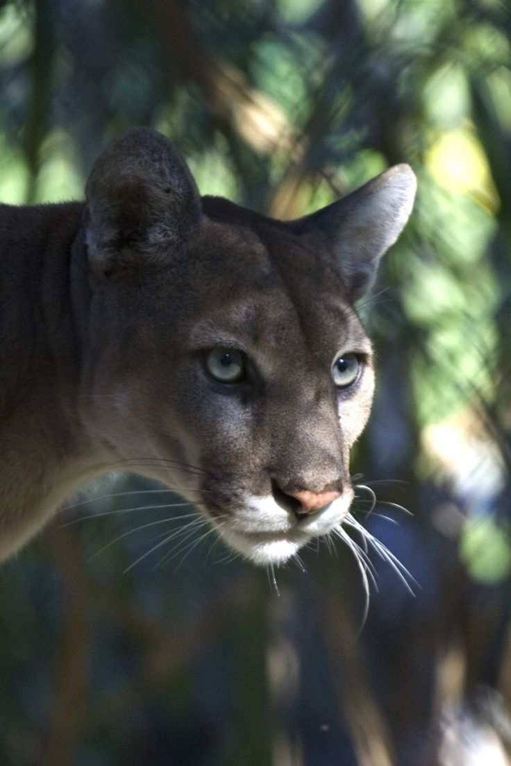 Due to heavy hunting and poaching in the 1800s, the Florida Panther was nearly driven into extinction. Today, there are fewer than 100 in the wild.  Photo taken in Everglades National Park.
