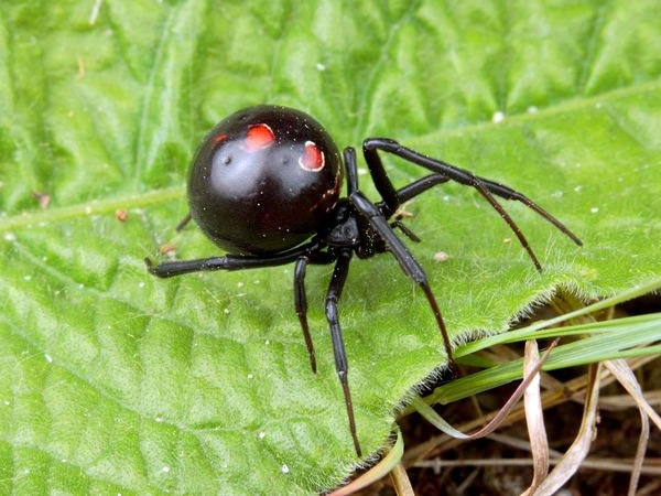 62 Best BLACK WIDOW SPIDERS BEAUTIFUL BUT DEADLY Images On