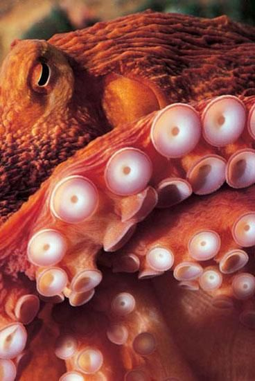 top 17 idei despre octopus photography pe pinterest | caracatițe, Cephalic Vein