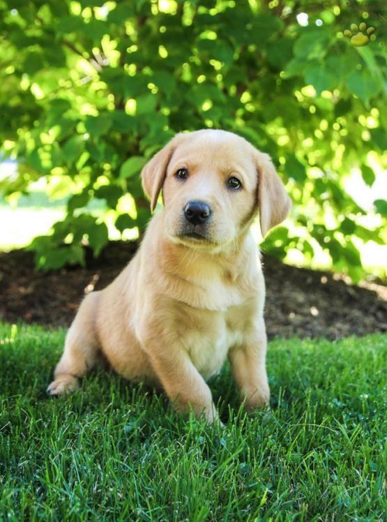 Savannah Labrador Retriever Puppy For Sale In Mill Hall Pa