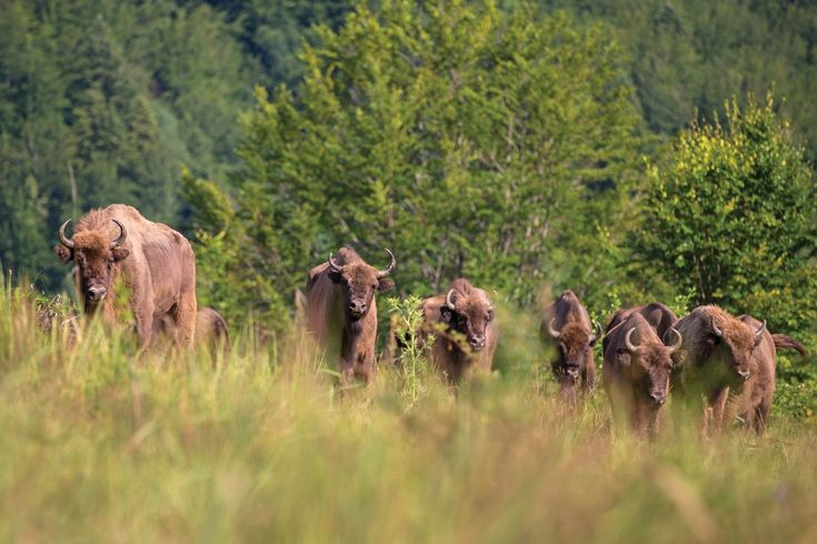 A herd of European bison (Bison bonasus) in the Tarcu mountain rewilding area, Romania. ©Daniel Allen