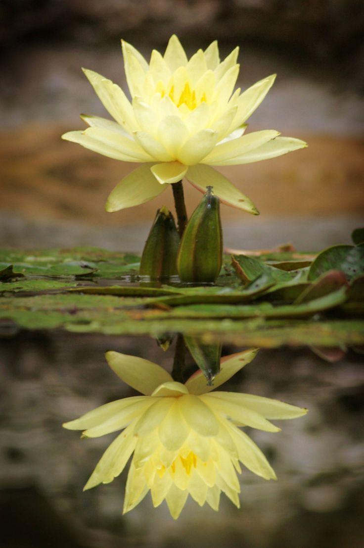 Waterlily © jrdnjstn~