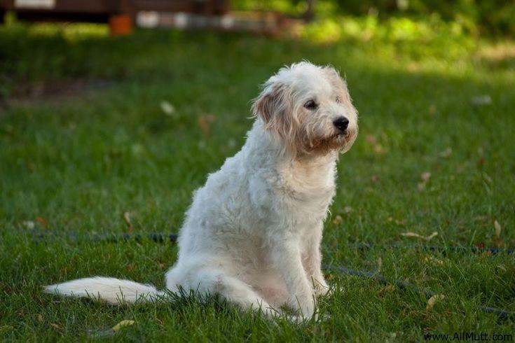 Beagle + Poodle = Poogle!