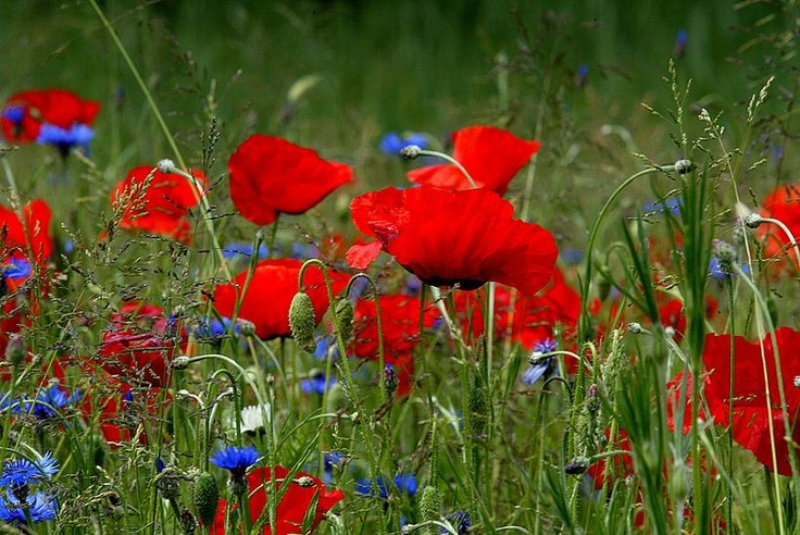 Mohn und Kornblumen (poppies and cornflowers)