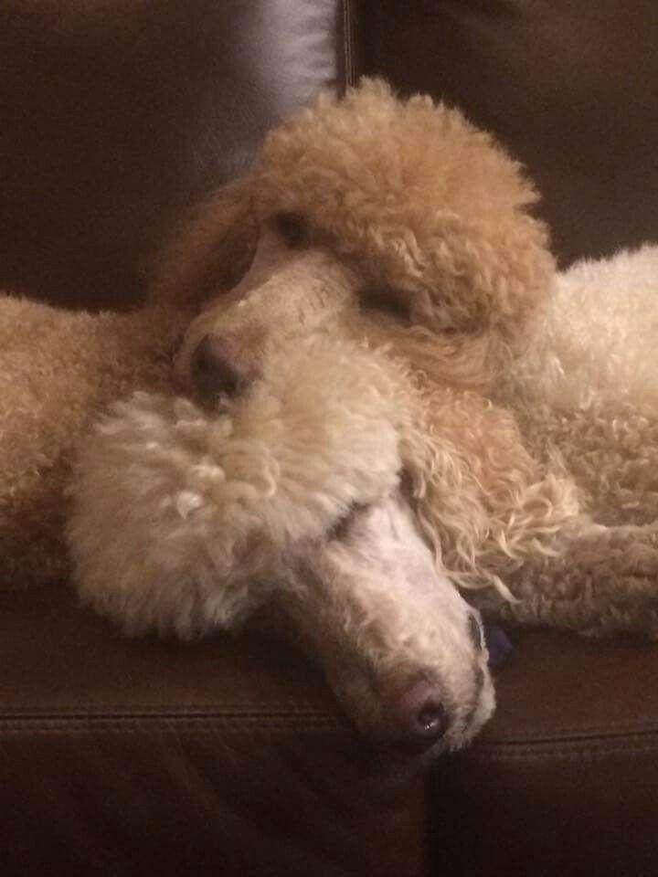 Poodle cuddles