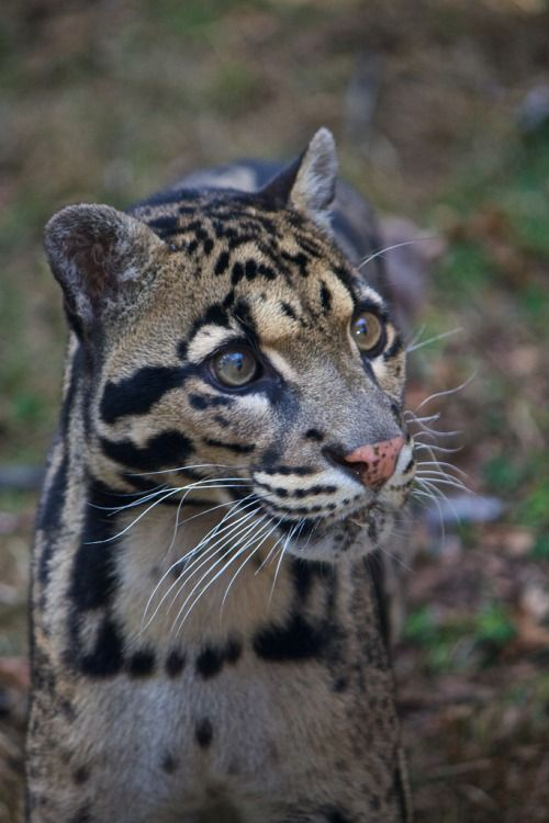 Ben, Clouded Leopard (by SarahO44)