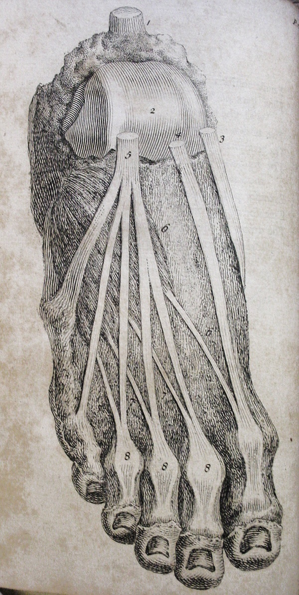by William Cheselden (1688-1752) / Anatomical <3