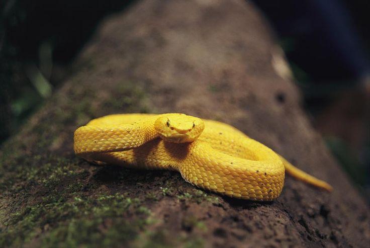 10 animales dorados que vale la pena ver - Crótalo cornudo de Schlegel