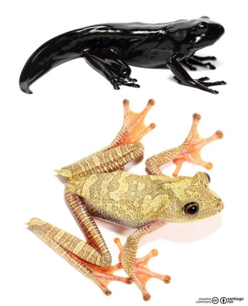 """typhlonectes:  """"  Map Treefrog (Hypsiboas geographicus), Two different life stages - black froglet (transitional stage metamorph) and adult. photographs by Santiago Ron CC  """""""