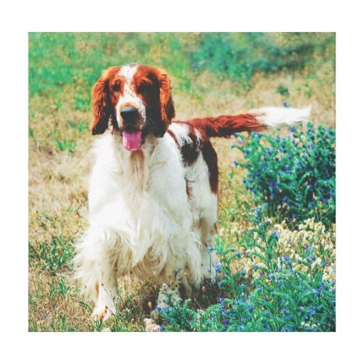 """Premium Wrapped Canvas (Gloss). Welsh Springer Spaniel """"Ralf"""".  Zazzle's gloss canvas is made from an additive-free cotton-poly blend and features a special ink-receptive coating that protects the printed surface from cracking when stretched."""