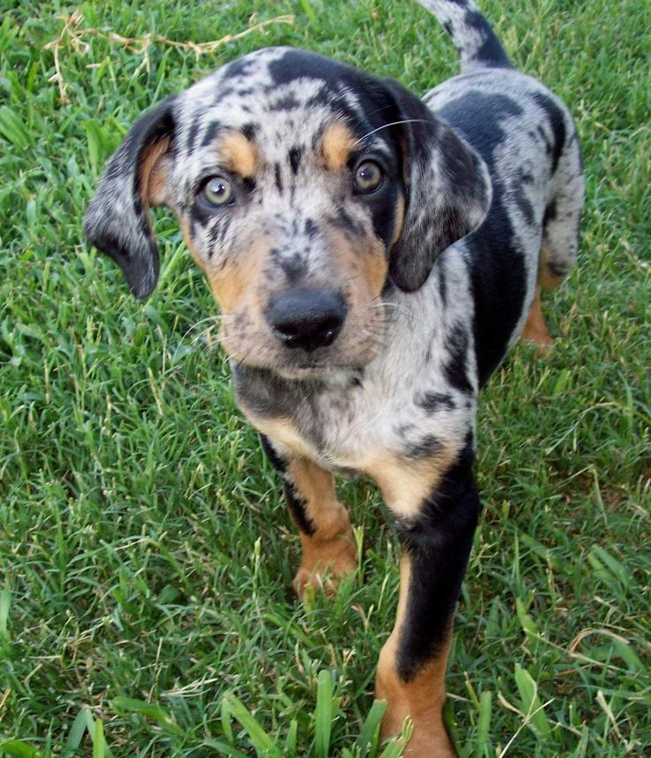 Catahoula - One of my new favorite dogs!! I love all the colors and spots! <3