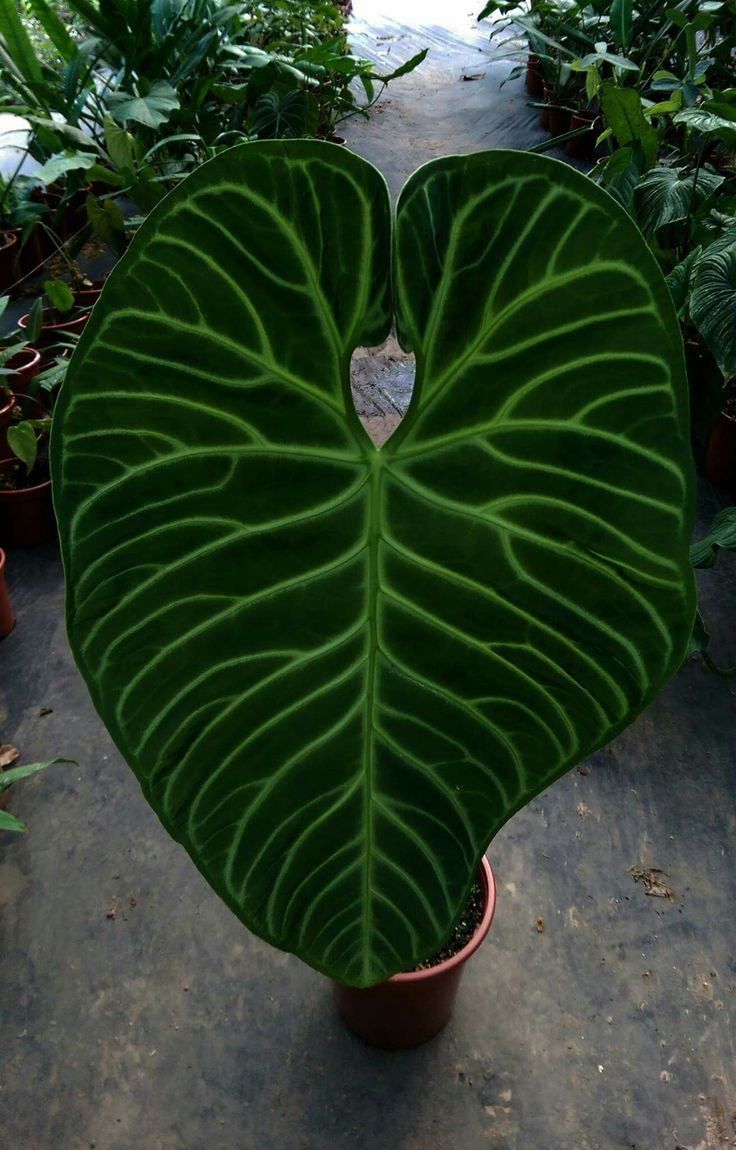 best 25 alocasia plant ideas on pinterest elephant ear plant indoor elephant ear plant and. Black Bedroom Furniture Sets. Home Design Ideas