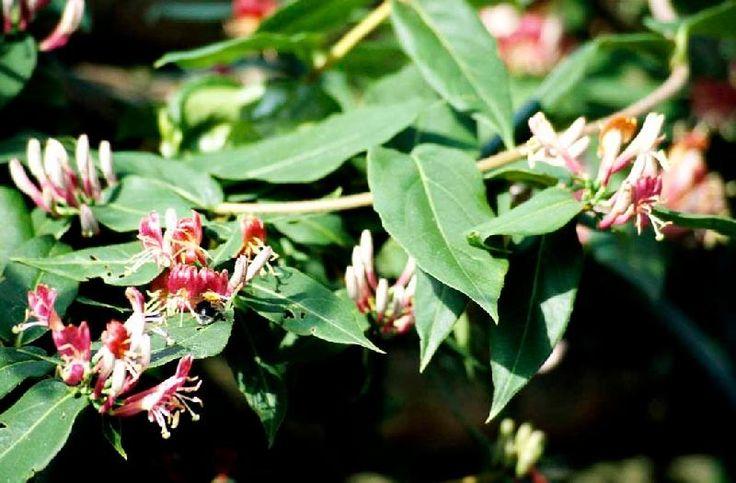 Stedsegrøn Kaprifolie / Lonicera henryi / Slyngplanter