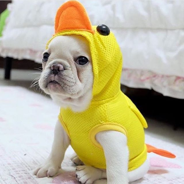 """You quack me up....ha, don't you get it?"", French Bulldog Puppy."