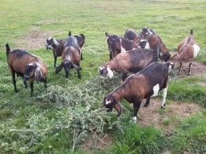 list of good and toxic things for goats to eat, Note: Do not plant rhododendron, fatal if consumed