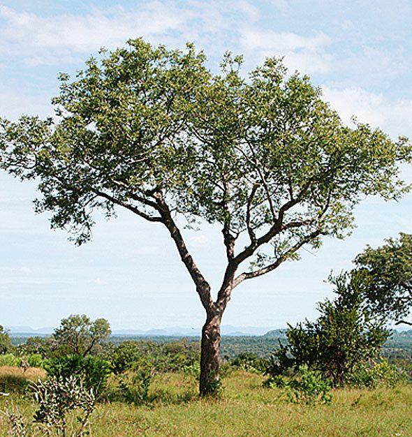 Marula Tree. Brett Hilton-Batber