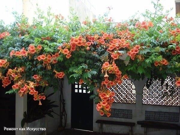 Текома кампсис, трубкоцвет. Эта чудесная лиана еще недавно считалась южным растением, а сейчас растет повсюду. Кампсис - находка для начинающих цветоводов.