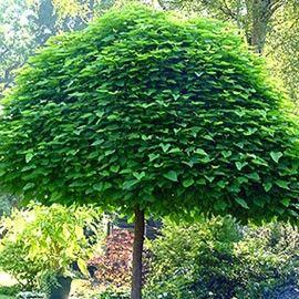 Variété recherchée pour son port boule ressemblant à un parasol. Taille réduite idéale petits jardins.