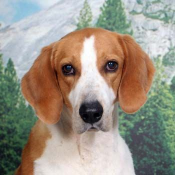 american foxhound closeup