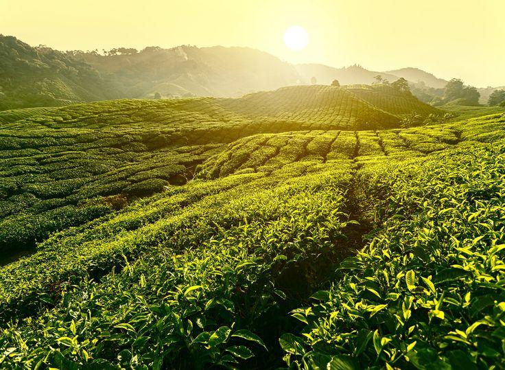 Plantation d'Arbre à Thé #australie #plantation #culture #bio