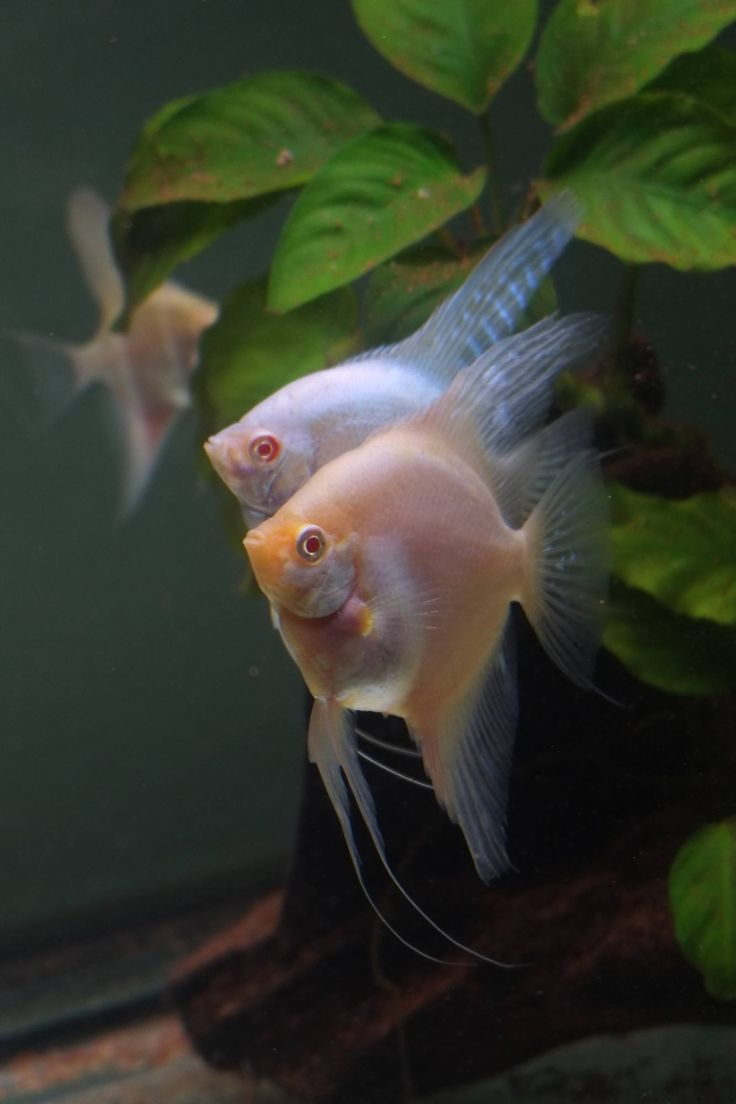 Angelfish, Fish Fish, Beautiful Fish, Freshwater Fish, Aquarium Fish, Tropical  Fish, Fish Tanks, Fresh Water, Lagos