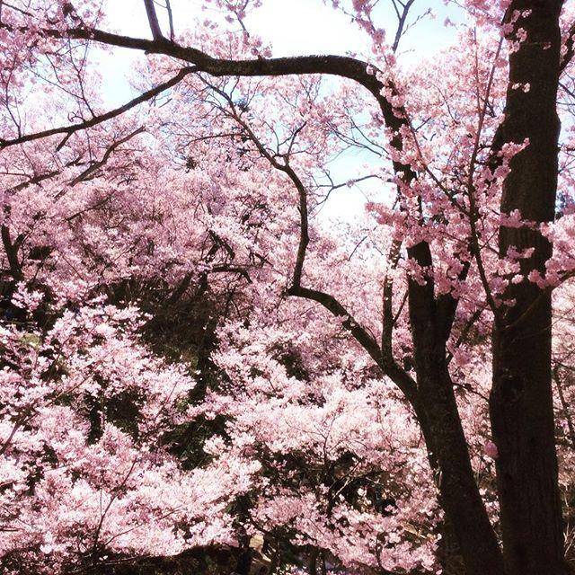 東亜の先輩が、高遠の満開のコヒガン桜のショットを送ってくれました❣️ #高遠 #コヒガンザクラ #コヒガン桜 #さくら #満開 #長野県
