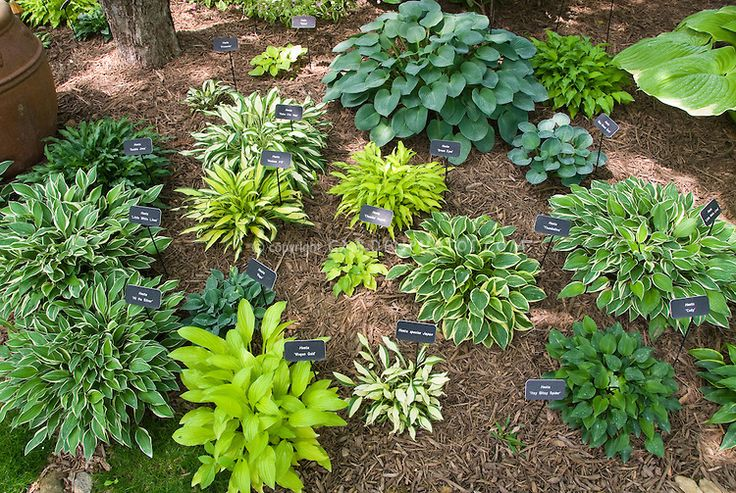 plant labels signs showing names of hostas in hosta garden