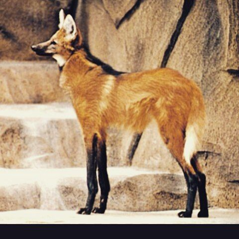 The maned wolf is the largest canid of South America. Its markings resemble those of foxes, but it is not a fox, nor is it a wolf, as it is not closely related to other canids. It is the only species in the genus Chrysocyon -La #Manedwolf #fact #animalworld