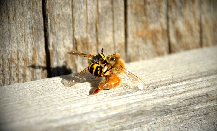 Guard honey bee fighting a yellow jacket