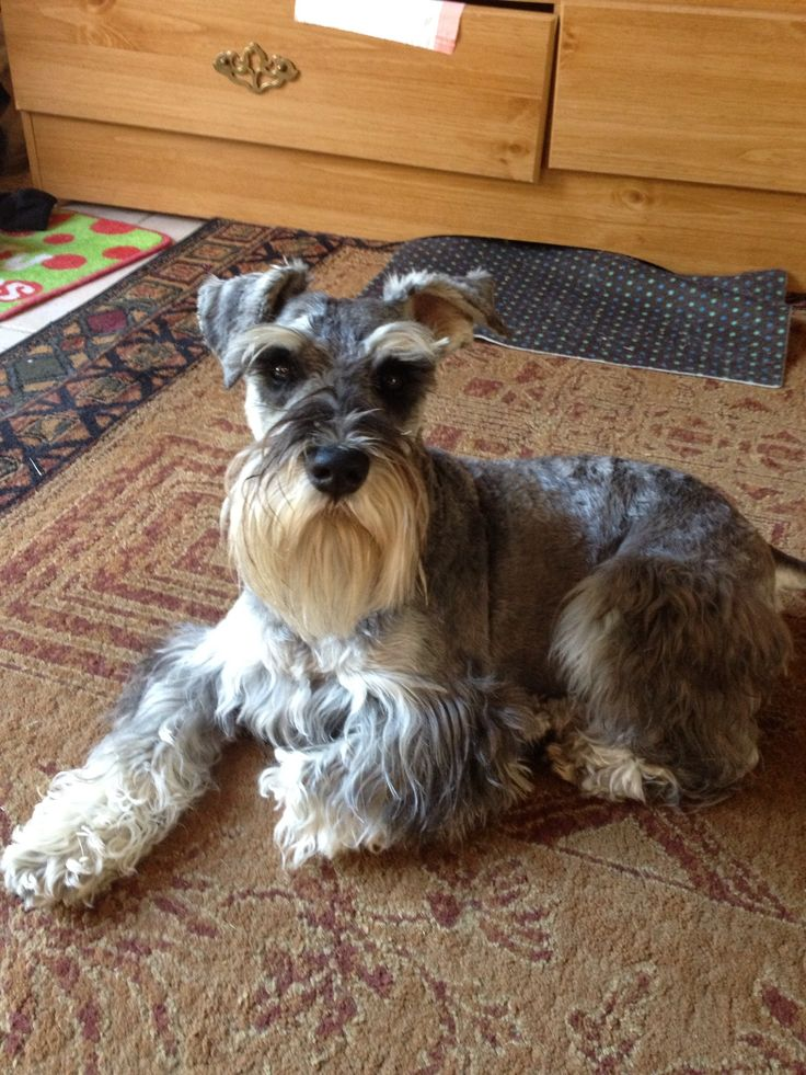 1000 Images About Schnauzers On Pinterest