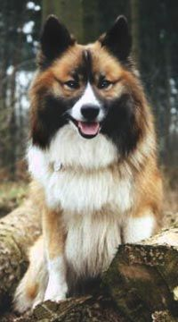 Image detail for -Icelandic Sheepdogs - Silke Müller-Uloth