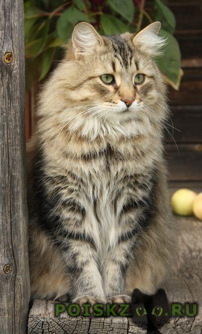 Пропал кот сибирский г.Санкт-Петербург