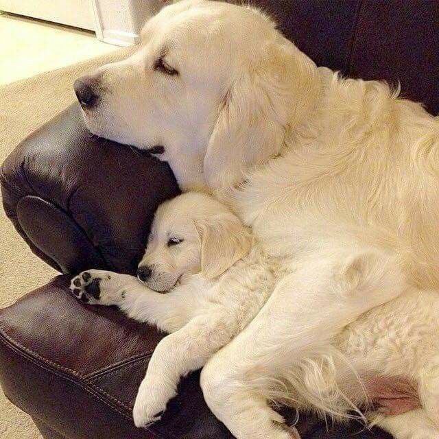 Golden Retriever puppy and it's mom