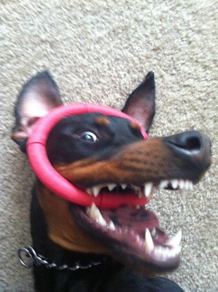 24 Gründe, warum Dobermänner wirklich unheimliche, gefährliche Hunde sind