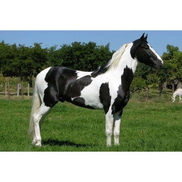 Cavalos Pampa, também chamados Malhados ❤ liked on Polyvore