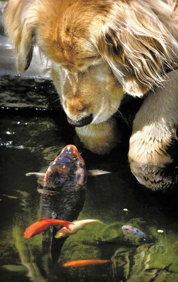 A big goldfish, or koi, named Falstaff swims over to the pond's edge for another meeting with a golden retriever named Chino in a backyard pond in Oregon.