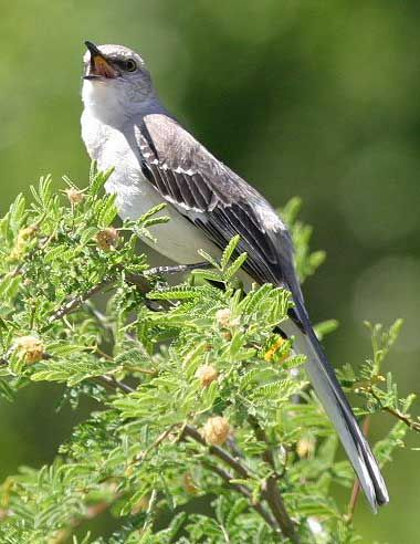 Texas designated the mockingbird (Mimus polyglottos) as official state bird in 1927. Northern Mockingbirds have extraordinary vocal abilities - they can sing up to 200 songs, including the songs of other birds, insect and amphibian sounds, even an occasional mechanical noise.