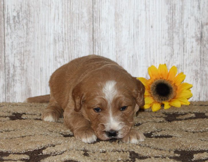 Dexter - A male Goldendoodle puppy for sale from New Haven