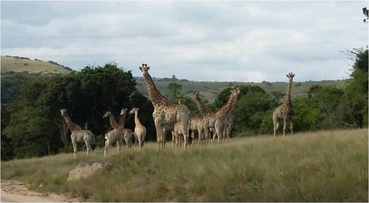 This photo was taken yesterday by a guest♡ who else spotted the giraffe at Lake Eland? #LiveLoveLakeEland