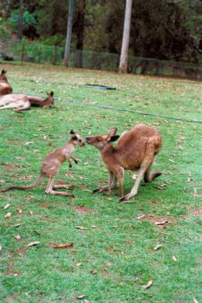 How do kangaroos have sex, greedy videos young