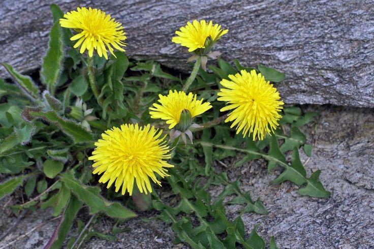 Eating Dandelions: Recipes, Medicinal Properties And More