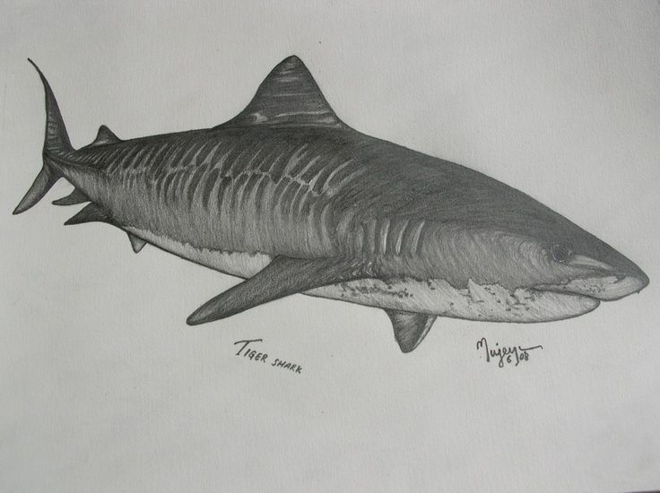 tiger shark tattoo Inked Pinterest Shark tattoos, Shark and Tigers - copy coloring page of a tiger shark