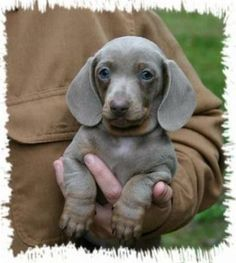 gray mini dachshunds for sale | Gray Dachshund                                                                                                                                                                                 More