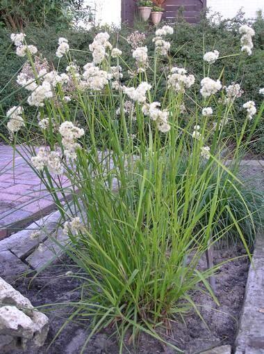 Luzula Nivea veldbies bloeit in juni-juli wintergroen 40 cm schaduw / halfschaduw: