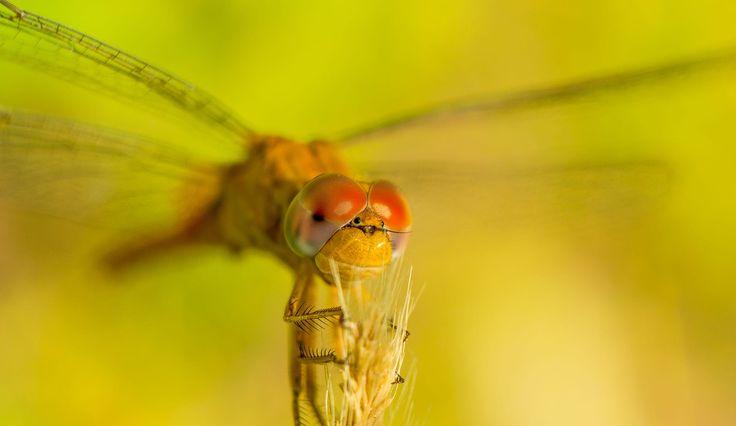 dragonfly by ABDULLAH  ALJARUDI