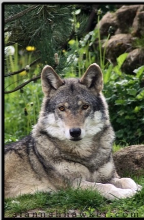 pretty. wolf are my favorite