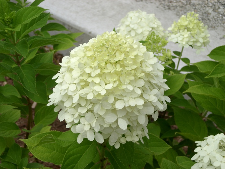 Lime lite Hydrangea.  These are so hardy and dependable.  Sometimes I leave the flowers on for winter interest in the garden.  These did very well this year.  Very dependable.