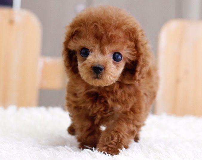 SOLD**Gigi - Teacup Poodle Female   ITSY PUPPY   Teacup & Microteacup Puppies for Sale   ITSY PUPPYITSY PUPPY   Teacup & Microteacup Puppies for Sale   ITSY PUPPY